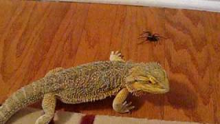 Bearded Dragon eats a Wolf Spider