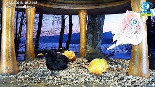 🐦 Kosy o wschodzie słońca ☀️ w karmniku nad Soliną