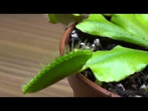 Если вы ищете редкие коллекционные экзотические растения — вы зашли по. Комнатных растений, секретах успешного выращивания, можно купить.