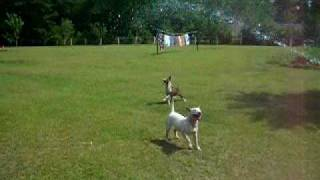 Bull Terriers Playing With Water