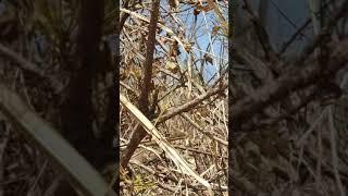 황금소나무