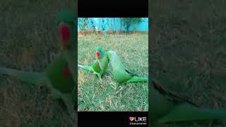 Parrot dance and music looking beautiful dance look beautiful very beautiful like and subscribe Appl