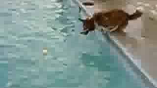 Welsh Corgi Diving!