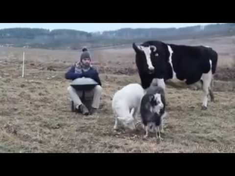 watch how farm  animals react to music
