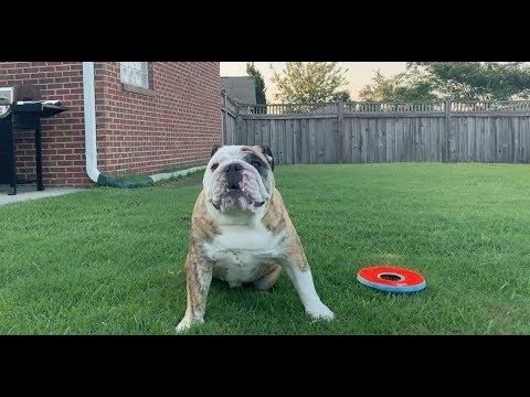 Reuben the Bulldog: Start To Finish
