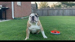 reuben-the-bulldog-start-to-finish