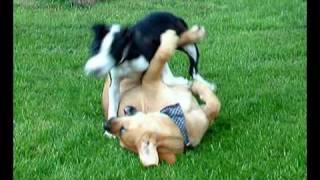 Staffordshire Bull Terrier Vs. Boerboel X Fila Brasileiro