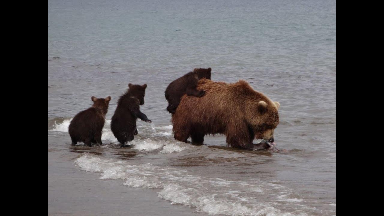 หมี จับปลาเลี้ยงลูก