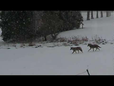 Coyotes Livonia Michigan February 2 2013