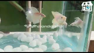 ??? NEW STOCK BETTA FISH SALE IN ERODE ???