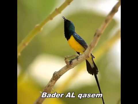 Burung di alam liar (kolibri)
