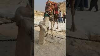 Верблюд Вася.