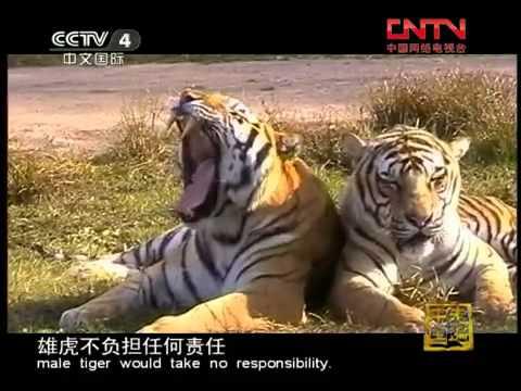 走遍中国 《走遍中国》 20110722 繁育东北虎