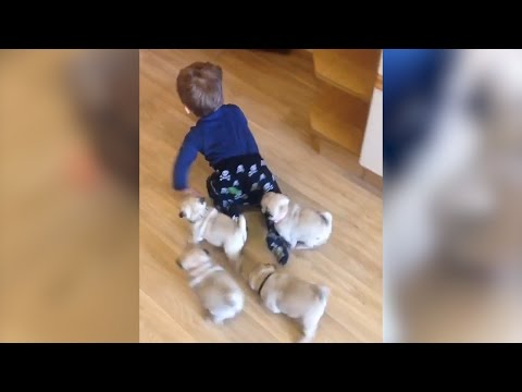 Adorable litter of pugs follows baby around house