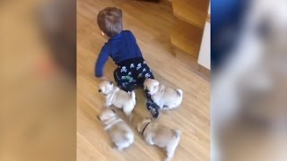 Adorable litter of pugs follows baby around house thumbnail