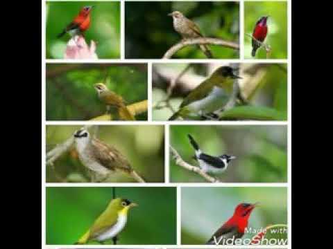 Suara pikat semua jenis burung liar