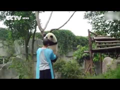 So Cute! Panda asks for hug to get down from tree!