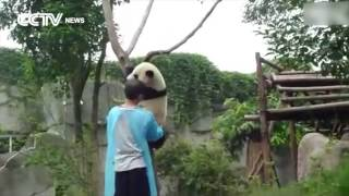 So Cute! Panda asks for hug to get down from tree! thumbnail