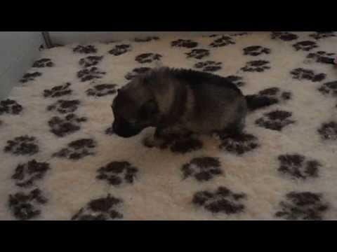 keeshond puppies first walk