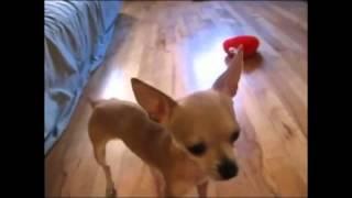 Собака которая умела петь