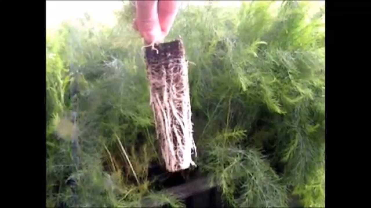 Plantaci n planta esp rrago manual con til para tierra for Viveros de plantas