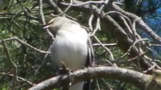 Our Mockingbird sings a morning serenade