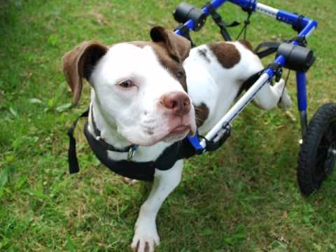 Dogs in Wheelchairs Happy and Healthy