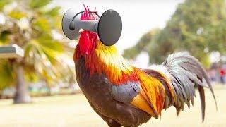 美国发明高科技养殖法,给鸡戴上VR眼镜,让鸡肉变得更美味