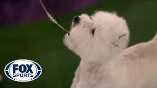 Boy, the West Highland white terrier, wins the Terrier group | FOX SPORTS