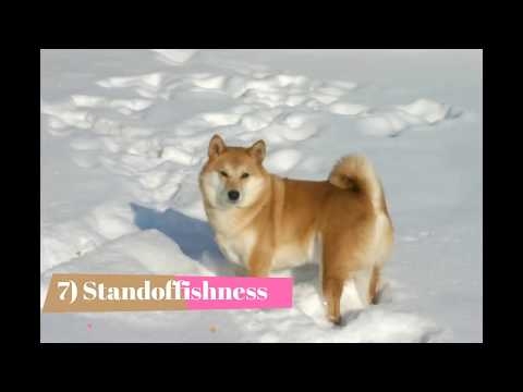 Top 10 Interesting Shiba Inu facts