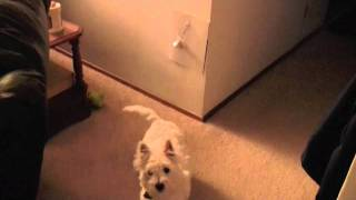 Another Smart Westie Rings Bell To Go Potty