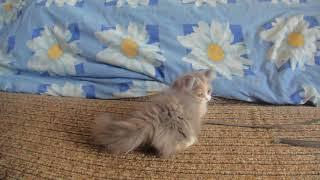 котенок манчкин 4 месяца