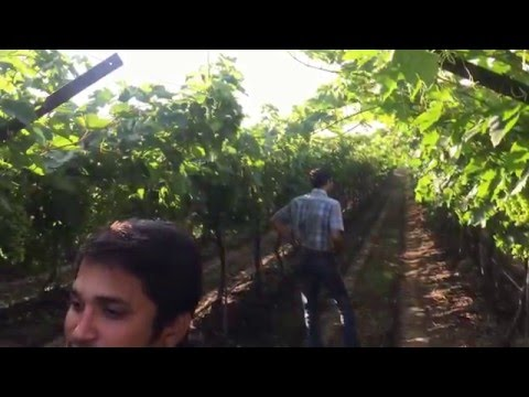 Table Grapes Trial with Cisbay AGN LTE in Nashik, India