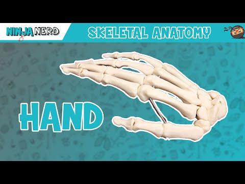 Hand Anatomy | Bones of the Hand