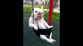 Mo-mo The Talking Bulldog On Swing Video