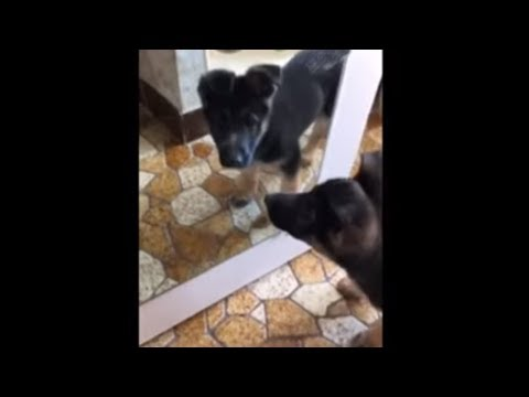 Puppy tries to befriend her reflection in mirror