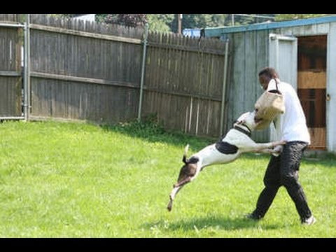 dogs-training-pitbull-to-attacking