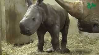 First Fifth-Generation Rhino Born at the Wilds