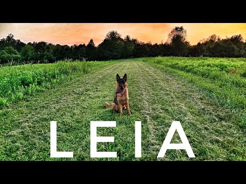 2yo GSD (Leia) Best Dog Trainers in Virginia