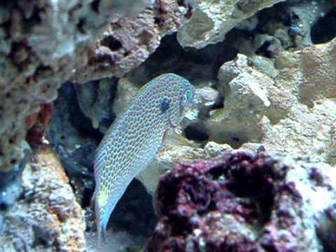 Orange Spot Rabbit Fish