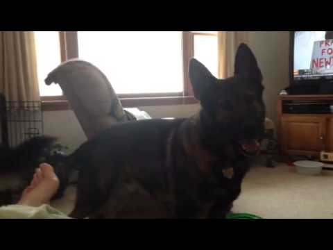 Funny German Shepherd makes other dogs go outside