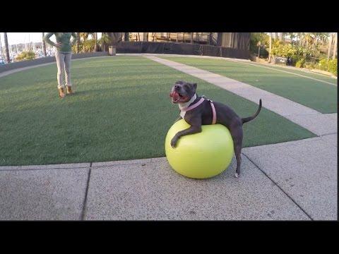This Pitbull Hates Fitness Balls!