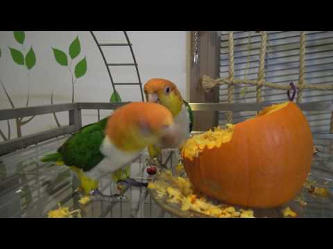 chickie caique and pumpkin