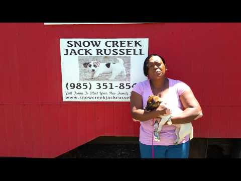 FREE Jack Russell Puppy To 2 Lucky Families Each Year At Snow Creek Jack Russell