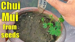 Ik Sharmila Poda || Mimosa Pudica || Touch Me Not Plant From Seeds