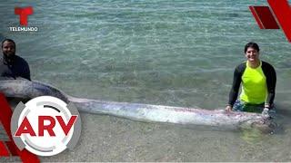 Pez remo reaparece en playa mexicana y surge temor por catástrofe | Al Rojo Vivo | Telemundo