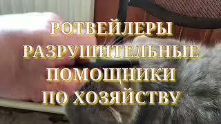 РОТВЕЙЛЕРЫ-РАЗРУШИТЕЛИ НА ДАЧЕ.Воспитание и дрессировка собак