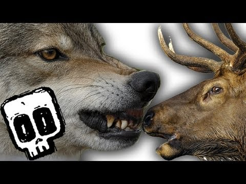 Grey Wolf vs Elk - Deadliest Showdown (Ep 2) - Earth Unplugged