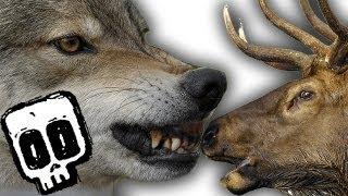 Grey Wolf vs Elk - Deadliest Showdown (Ep 2) - Earth Unplugged