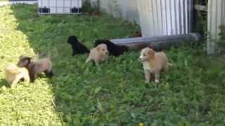 Golden Retriever Mixed Puppies For Sale